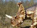 Centrosaurus-ElkeWagner.jpg
