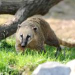 Tierischer Bewohner im Wild- und Freizeitpark Klotten - der Nasenbär