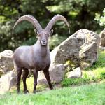 Der Steinbock im Wild- und Freizeitpark Klotten freut sich über neue Besucher