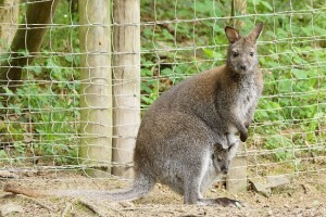 Wallaby-Känguru mit Baby