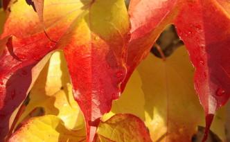 Herbstlich gefärbte Weinblätter