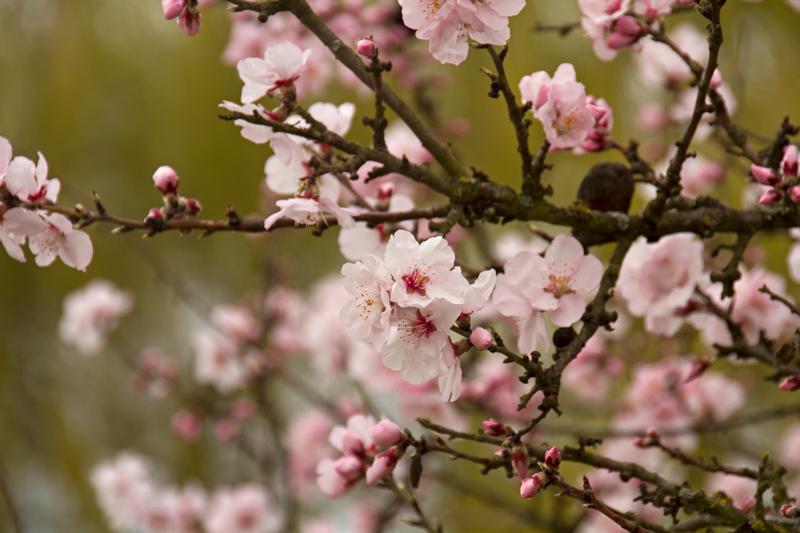 Die Mandelblüte in Rheinland-Pfalz ist übrigens der früheste Frühling in Deutschland. Foto: Daniela Trauthwein