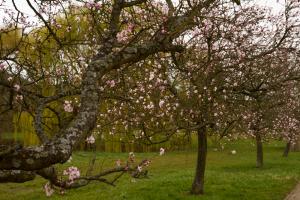 Mandelblüte3