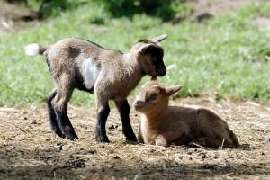 Ziegenbabys im Eifelpark Gondorf