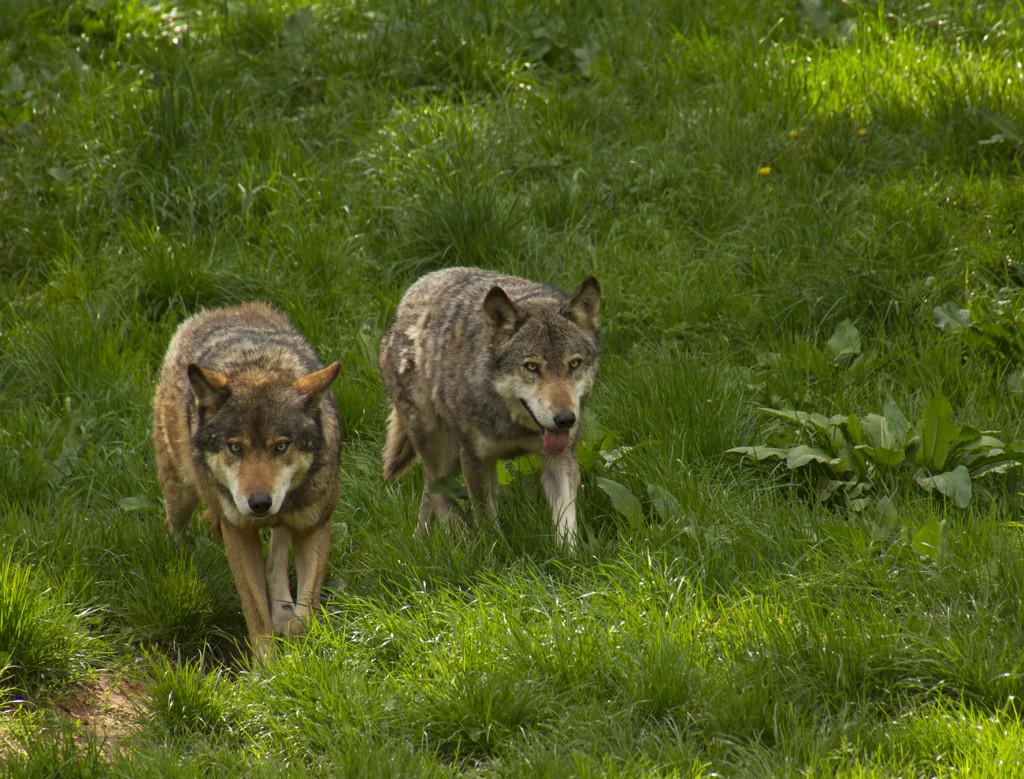 Wölfe im Wild- und Wanderpark Silz