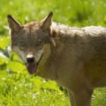 Wolf im Wild- und Wanderpark Silz